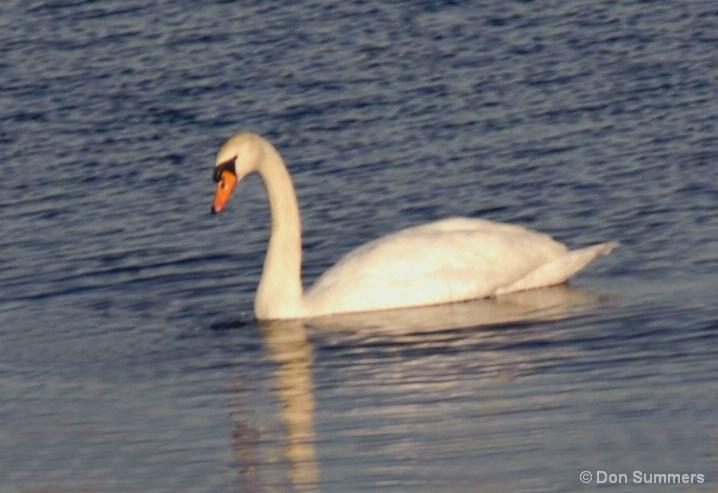 Swan, Cape May, NJ 2006