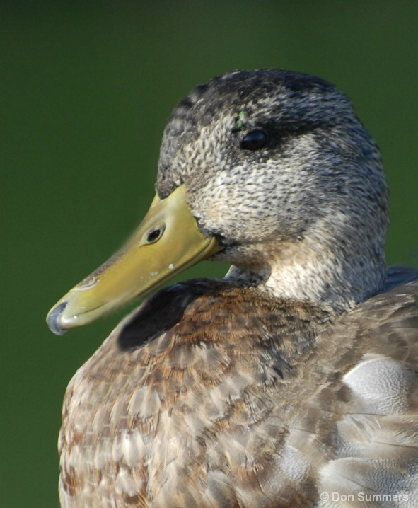 Duck, Tiburon, CA 2007
