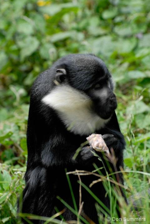 Gibbon, Rwanda, Africa 2007