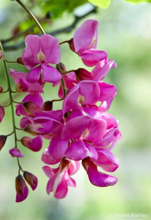 Purple Robe Locus Flower