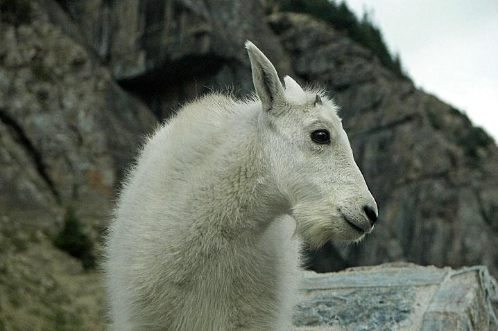 Kid Mountain Goat, Glacier National Park