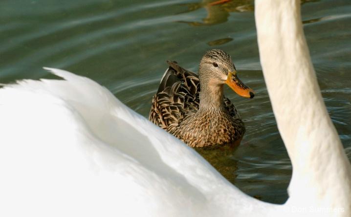 Duck With Swan, Palm Desert, CA 2008