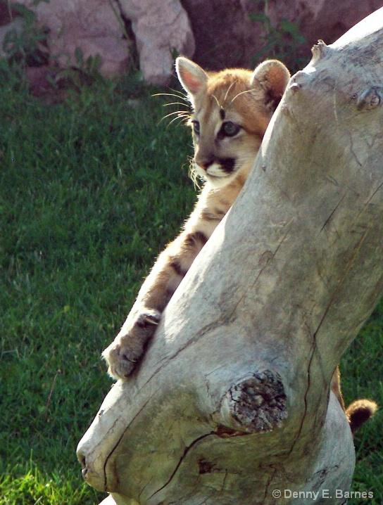 Cougar Kitten, Animal Park-SD