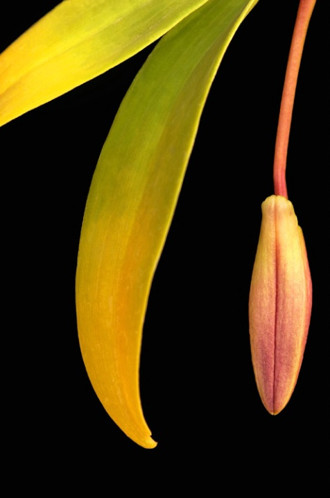 Orchid Bud Drop