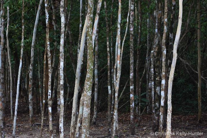 Maya Trees
