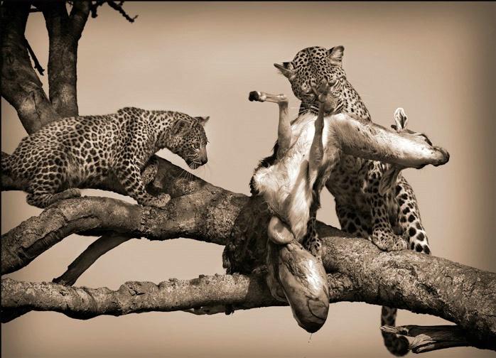 Masai Mara Kenya - Leopard & cub