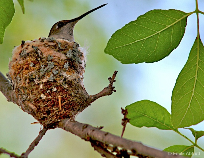 Mother Hummingbird