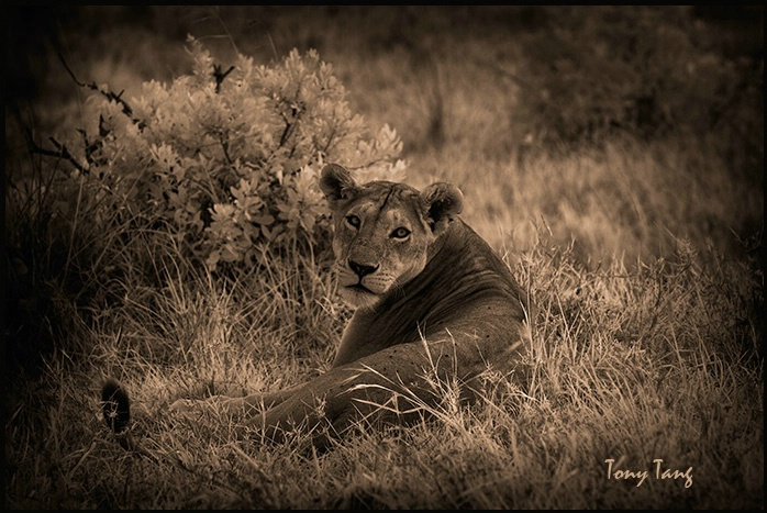 Marai Mara lioness