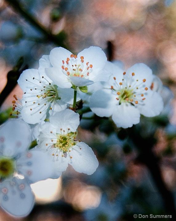 Plum Blossom, Tiburon, CA 2007