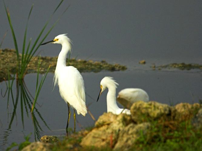 Snowy Egrets 1