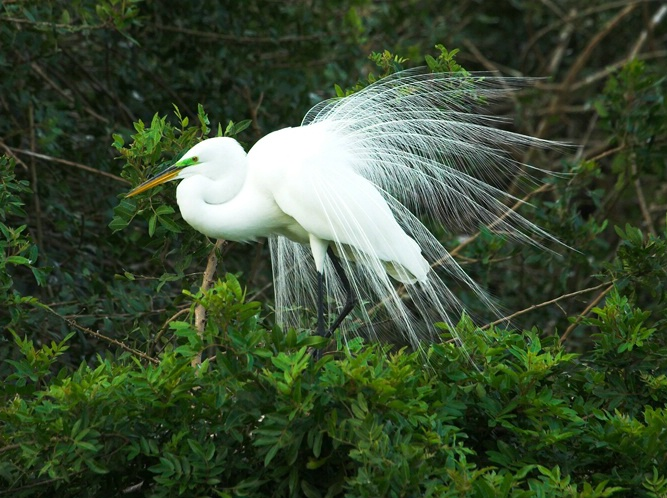 Great White Mating Plumage