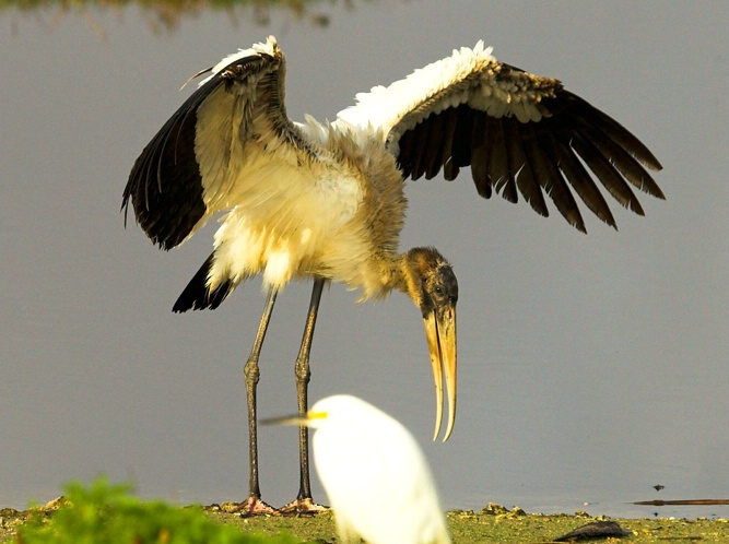 Wood Storke