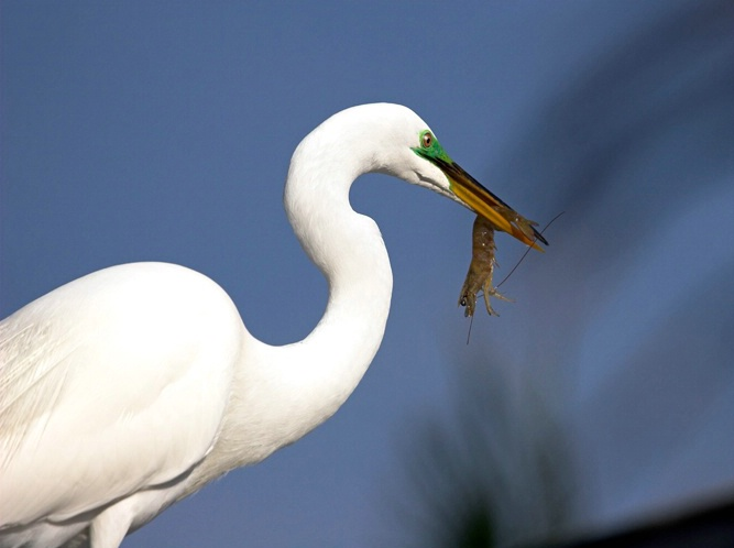 Great Egret With Shrimp