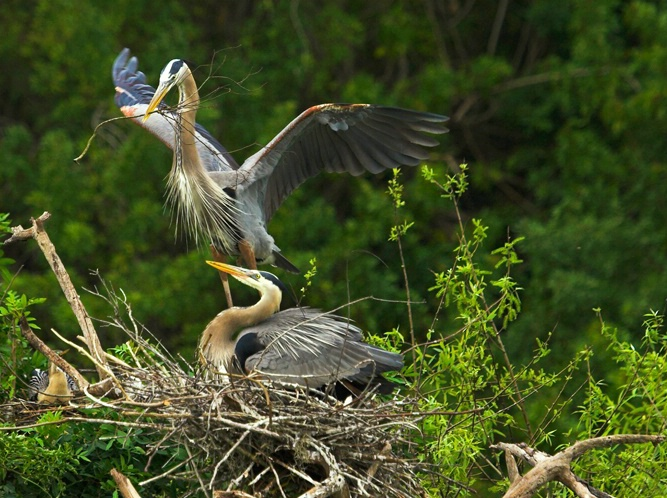 Blue Herons Nesting 1