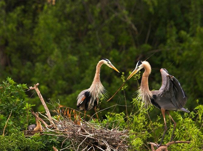 Blue Herons Nesting 2