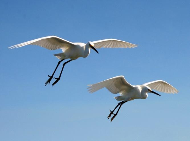 Snow Egret Flight 2