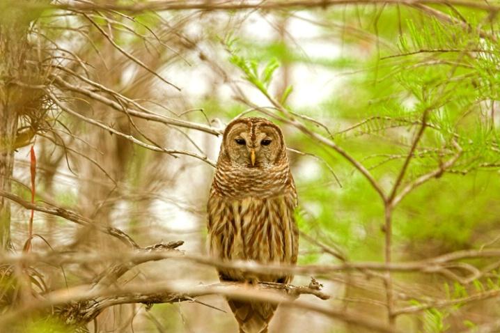 Everglades Owl