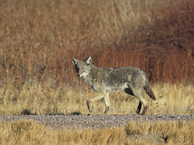 New Mexico Coyote