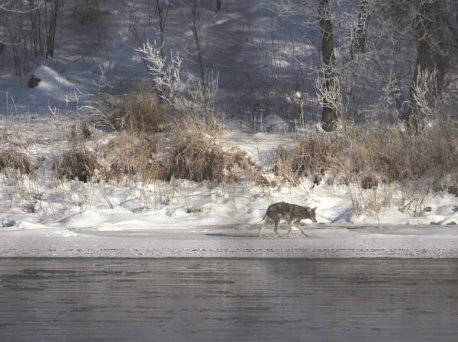 Coyote After The Snow