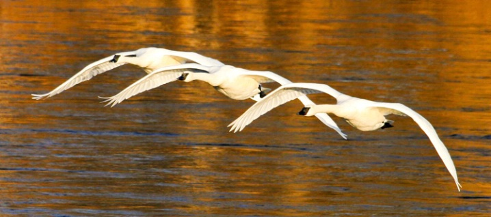Trumpeter Swan Precision Flying