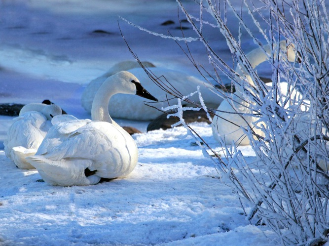 Trumpeter Swan After the Snow
