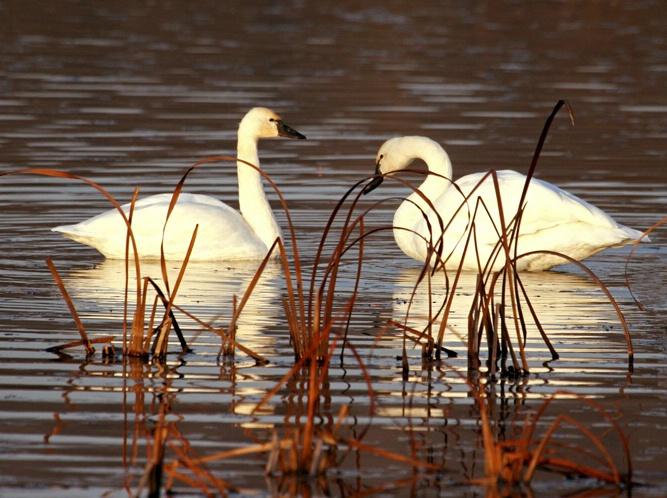 Trumpeter Swan Glow 2