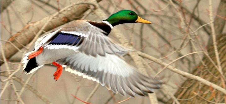Mallard Flight