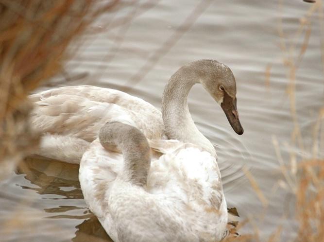 Trumpeter Swan Glow