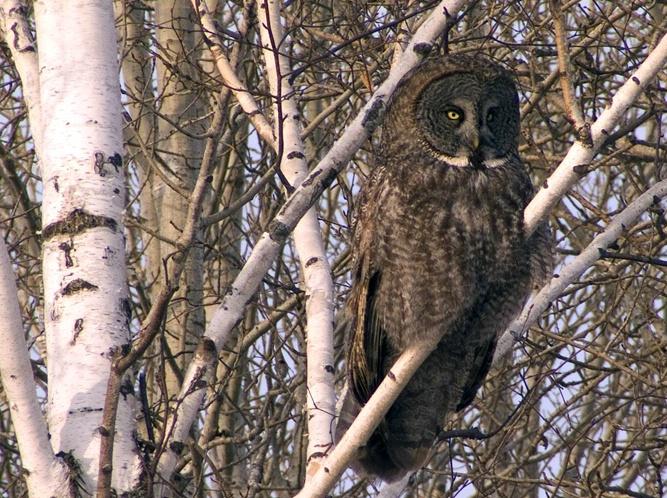 Owl in Birch