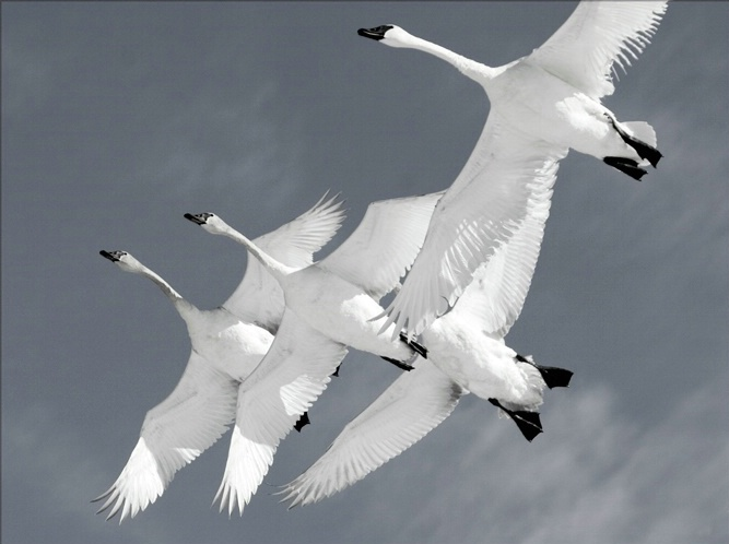 Trumpeter Swan Formation