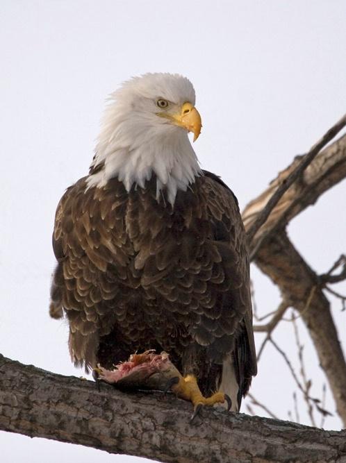 Eagle Feed 1