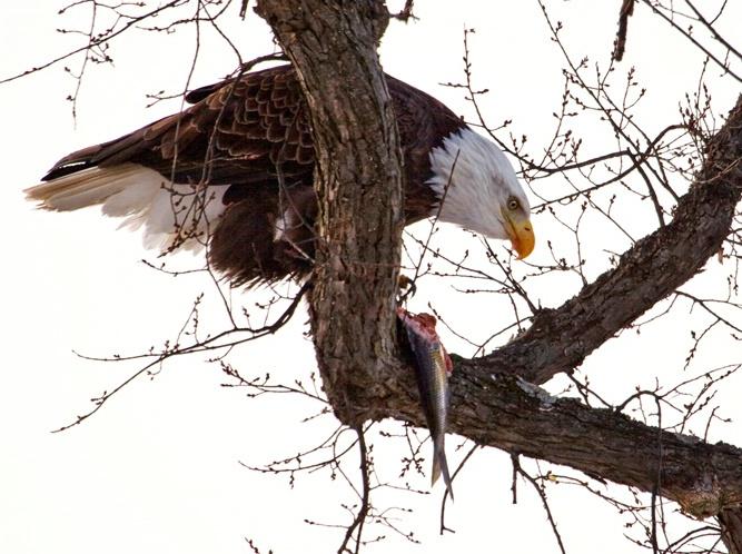 Eagle Feed 2