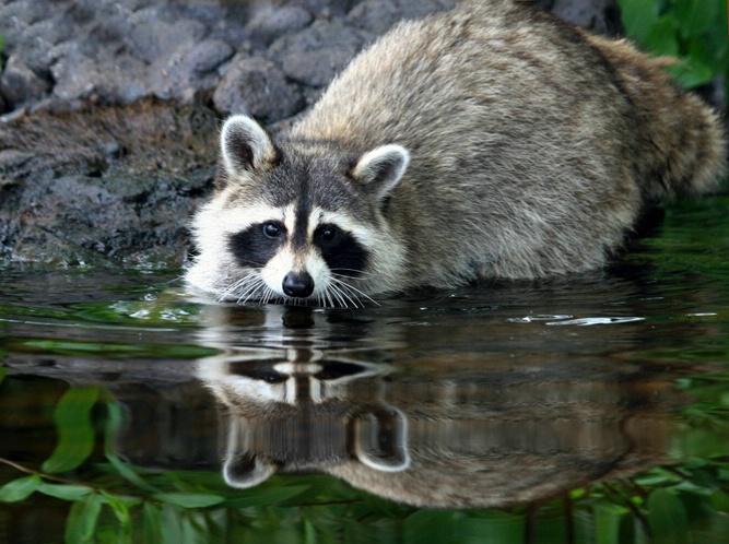 Raccoon Looking Glass