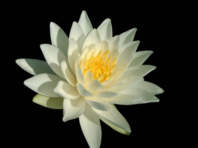 Water Lilly Macro