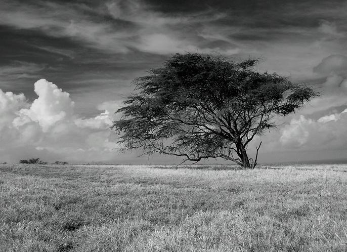 Lanai Tree 2