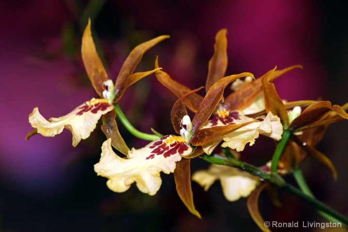Orchid Glory