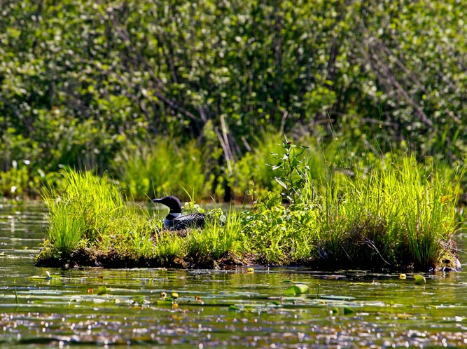 Man Made Loon Nest