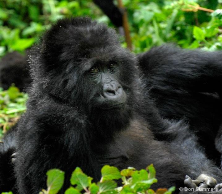 Mountain Gorilla, Rwanda 2007