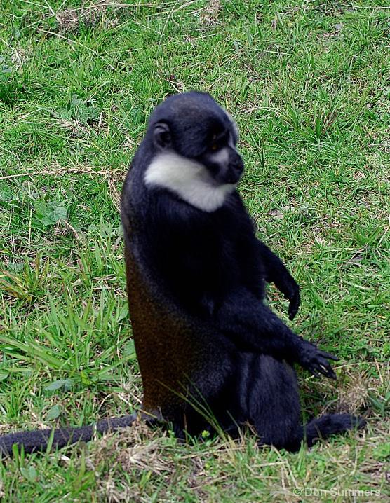 Gibbon, Rwanda 2007