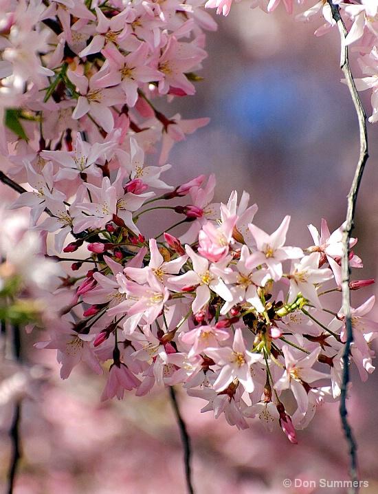 Japanese Cherry Blossoms, Napa Valley, CA 2008