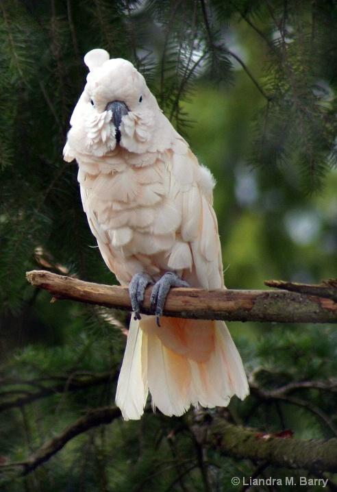 Salmon-Crested Cuckatoo
