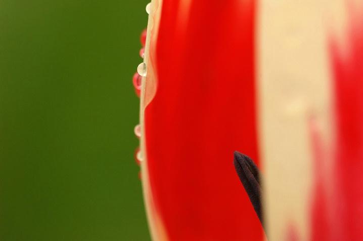 Red Tulip Drop