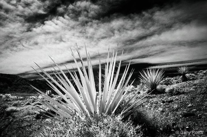 Calico Canyon Yucca
