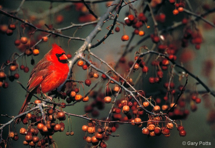 Cardinal on Berry Bush