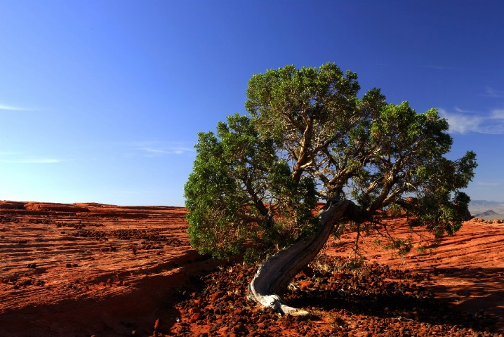 Tree - Snow Canyon State Park