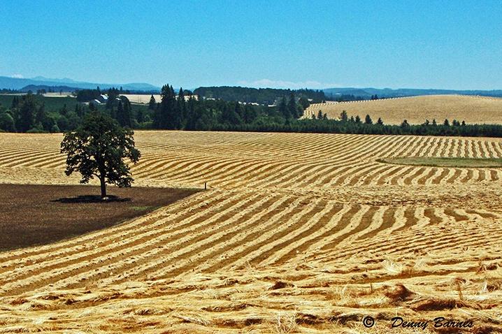 Harvest Time, Oregon