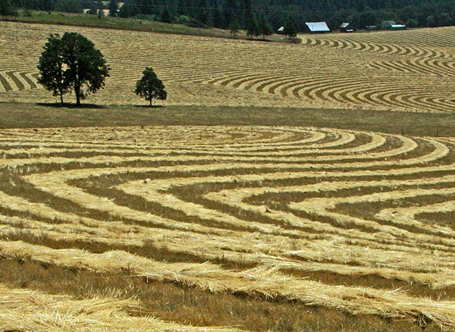 All in a Row Ready for Combining, Oregon