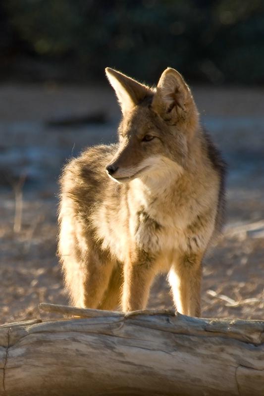 Coyote, Death Vally