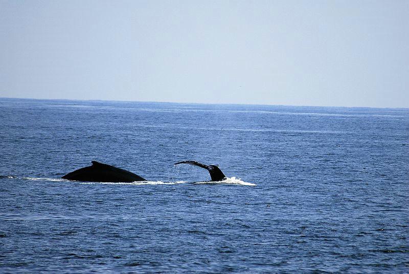 w42 Whale watch, Gloucester,MA