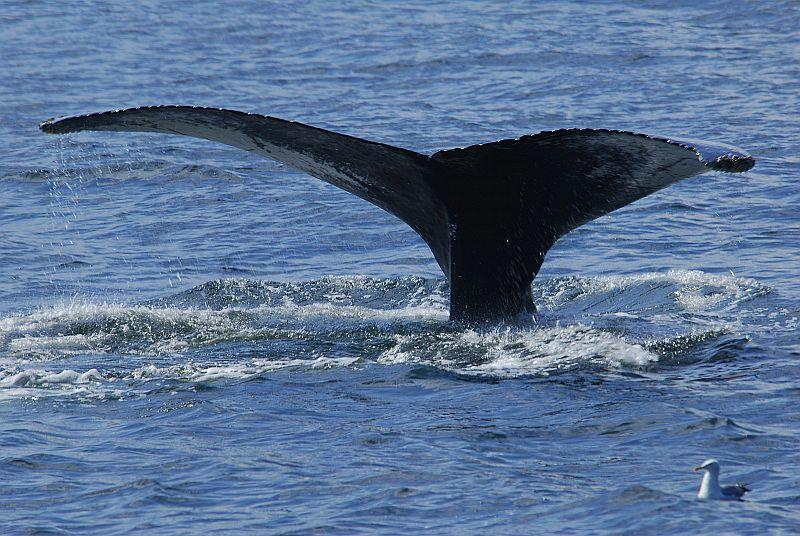 w51 Whale watch, Gloucester,MA